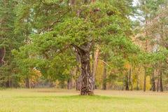 Πάρκο φθινοπώρου με το παλαιό δέντρο πεύκων στο πρώτο πλάνο Στοκ φωτογραφία με δικαίωμα ελεύθερης χρήσης