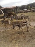 Πάρκο Hodenhagen Serengetie Στοκ Εικόνα