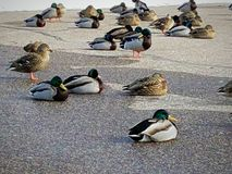 Πάρκο WI σημείου παπιών stevens σε στάση Στοκ Φωτογραφία