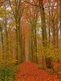 Πάροδος της Misty των δέντρων και του φυλλώματος οξιών φθινοπώρου σε ένα δάσος στη φλαμανδική επαρχία στοκ φωτογραφίες