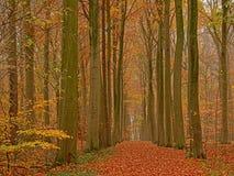 Πάροδος της Misty των κορμών δέντρων οξιών φθινοπώρου σε ένα δάσος στη φλαμανδική επαρχία στοκ φωτογραφία με δικαίωμα ελεύθερης χρήσης