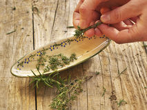 Πάρτε τα φρέσκα φύλλα θυμαριού από το μίσχο Στοκ φωτογραφία με δικαίωμα ελεύθερης χρήσης