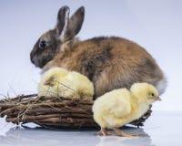 Πάσχα, κουνέλια, κοτόπουλο λαγουδάκι, αυγά Στοκ εικόνα με δικαίωμα ελεύθερης χρήσης