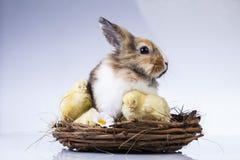 Πάσχα, κουνέλι, νεοσσός, κοχύλι Στοκ Φωτογραφίες