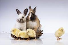 Πάσχα, κουνέλι, νεοσσός, κοχύλι Στοκ Φωτογραφία