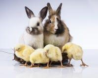 Πάσχα, νεοσσός, κοχύλι, αυγό, νεοσσός Στοκ Φωτογραφία