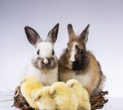 Πάσχα, νεοσσός, κοχύλι, αυγό Στοκ Εικόνα
