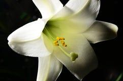 Πάσχα lilly Στοκ Φωτογραφία