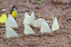 πάτωμα πεταλούδων που συλλέγει το ύδωρ πολλών pieridae Στοκ Φωτογραφίες