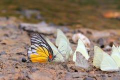 πάτωμα πεταλούδων που συλλέγει το ύδωρ πολλών pieridae Στοκ φωτογραφία με δικαίωμα ελεύθερης χρήσης