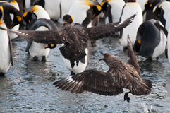 Πάλη ανταρκτικό Skuas Στοκ φωτογραφία με δικαίωμα ελεύθερης χρήσης