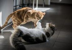 Πάλη γατών στοκ φωτογραφίες με δικαίωμα ελεύθερης χρήσης