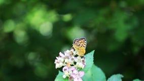 Πάλη πεταλούδων απόθεμα βίντεο