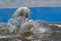 Πάλη πολικών αρκουδών Στοκ Φωτογραφία