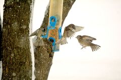 Πάλη σπουργιτιών σε Birdfeeder Στοκ Φωτογραφία