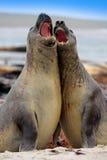 Πάλη στην παραλία Σφραγίδα ελεφάντων, leonina Mirounga, πάλη στην παραλία άμμου Σφραγίδα ελεφάντων με το βράχο στο υπόβαθρο Δύο τ Στοκ Φωτογραφίες
