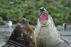 Πάλη σφραγίδων ελεφάντων Στοκ εικόνα με δικαίωμα ελεύθερης χρήσης