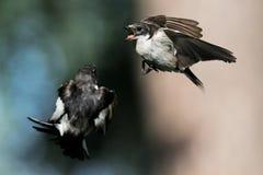 Πάλη δύο αρσενικά παρδαλά Flycatchers κατά την πτήση Στοκ Φωτογραφίες