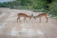 Πάλη δύο μαύρος-αντιμέτωπη αρσενικό impalas Στοκ φωτογραφίες με δικαίωμα ελεύθερης χρήσης