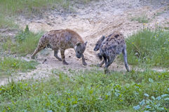 Πάλη Hyenas Στοκ Εικόνα