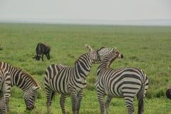 Πάλη Zebras Στοκ Εικόνα