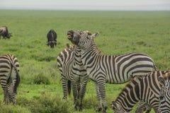 Πάλη Zebras Στοκ εικόνα με δικαίωμα ελεύθερης χρήσης