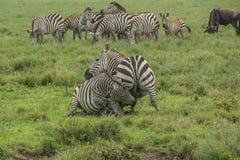 Πάλη Zebras Στοκ φωτογραφίες με δικαίωμα ελεύθερης χρήσης