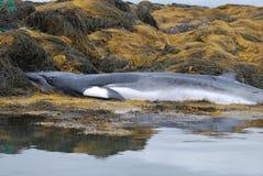 Πέθανε Minke φάλαινα στους βράχους και το φύκι Στοκ φωτογραφίες με δικαίωμα ελεύθερης χρήσης
