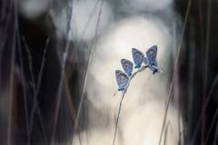 Πέντε κοινά μπλε αρσενικά Στοκ φωτογραφίες με δικαίωμα ελεύθερης χρήσης