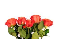 Πέντε κόκκινα τριαντάφυλλα σε ένα άσπρο υπόβαθρο Φωτεινά φρέσκα λουλούδια με τα πράσινα φύλλα o Μεγάλα μπουμπούκια τριαντάφυλλου  στοκ εικόνες