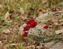 Πέντε κόκκινο Mums τέντωμα μετά από πέτρινο Paver Στοκ Φωτογραφίες