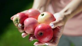 Πέντε μήλα στα θηλυκά χέρια οπωρώνας φύλλων καρπών κλάδων μήλων μήλων καλοκαίρι κήπων συγκομιδή απόθεμα βίντεο
