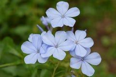 Πέντε μπλε λουλούδια Στοκ Φωτογραφίες