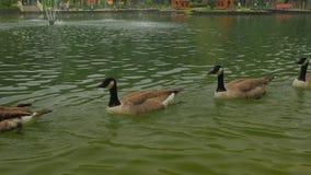 Πέντε πάπιες κολυμπούν η μια για την άλλη απόθεμα βίντεο