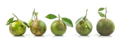 Πέντε πράσινα πορτοκαλιά φρούτα arrang στη σειρά Στοκ Εικόνες