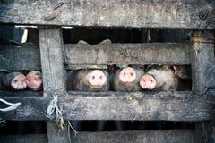 Πέντε χοίροι πίσω από τον ξύλινο φράκτη Στοκ Εικόνες