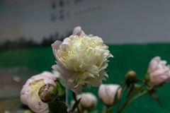 Πέπλο-φρέσκα λουλούδια περικοπών lactiflora Paeonia Στοκ φωτογραφία με δικαίωμα ελεύθερης χρήσης