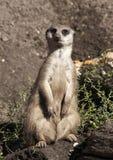 πέρα από την προσοχή suricate Στοκ εικόνα με δικαίωμα ελεύθερης χρήσης