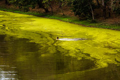 πέρα από το πράσινο άτομο ζουγκλών ο ποταμός κολυμπά Στοκ Φωτογραφία