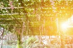 Πέργκολα που καλύπτεται με την ένωση των αμπέλων Στοκ Εικόνα