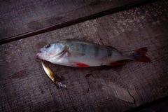 Πέρκα και σκληρά θέλγητρα πιασμένα ψάρια Στοκ Εικόνες