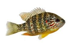 Πέρκα λιμνών gibbosus Pumpkinseed Lepomis ψαριών sunfish Στοκ φωτογραφία με δικαίωμα ελεύθερης χρήσης