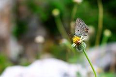 Πέρκα πεταλούδων στην ανθίζοντας χλόη στοκ φωτογραφία
