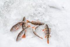Πέρκα στον πάγο Στοκ εικόνα με δικαίωμα ελεύθερης χρήσης