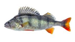 Πέρκα ψαριών με τις κλίμακες, φρέσκος ακατέργαστος που απομονώνεται Στοκ εικόνες με δικαίωμα ελεύθερης χρήσης