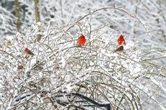 Πέρκα δύο κόκκινη αρσενική καρδιναλίων στο χιονώδη θάμνο στοκ φωτογραφία με δικαίωμα ελεύθερης χρήσης