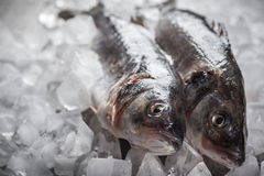 Πέρκες θάλασσας στον πάγο Στοκ εικόνες με δικαίωμα ελεύθερης χρήσης
