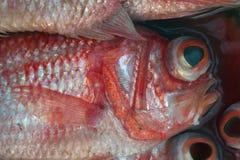 Πέρκες θαλασσίων ψαριών με τα διογκώνοντας μεγάλα και διογκώνοντας μαυρισμένα μάτια στον κόκκινο κύκλο, τις αργυροειδείς κλίμακες Στοκ εικόνα με δικαίωμα ελεύθερης χρήσης
