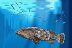 Πέρκες, grouper στη θάλασσα Στοκ Εικόνες