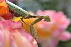 Πέστε το hellow σας στα mantis στοκ εικόνες